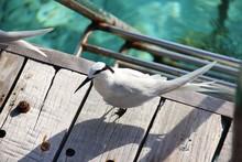 Black-naped Tern (Sterna Sumat...