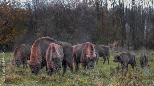 Staande foto Buffel Wisent - European Bison