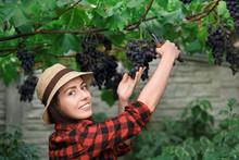 Woman Gardener Picking Grape