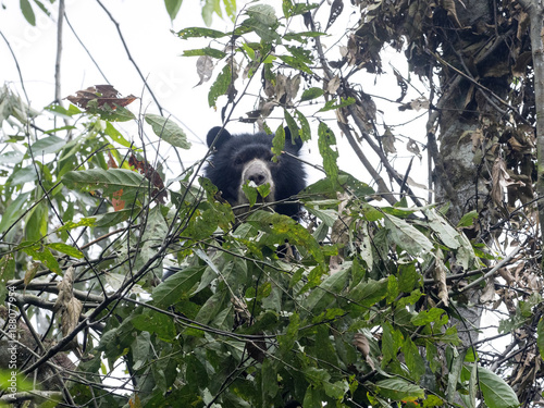 Spectacled bear, Tremarctos ornatus, is fed on a tree in the mountain foggy fore Canvas Print