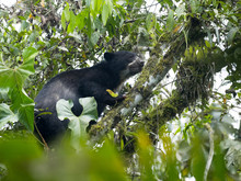 Spectacled Bear, Tremarctos Or...