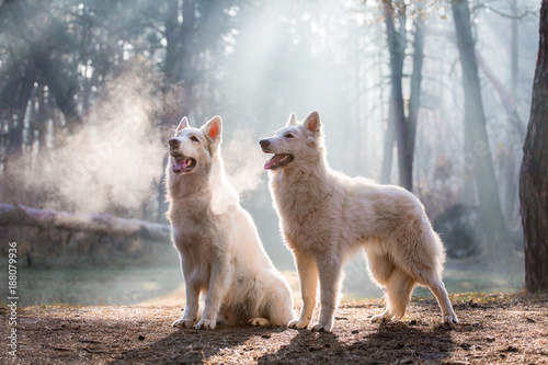 Naklejki wilk  dog-of-breed-white-swiss-shepherd-in-the-forest