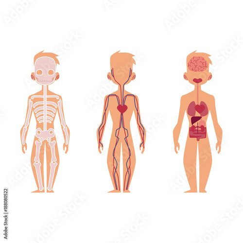Vector flat structure of the human body, anatomy - male, internal ...