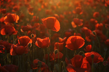 Red Poppy At Afternoon Sunlight