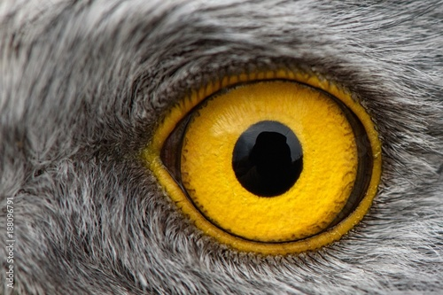 Poster Aigle eagle eye close-up, macro photo, eye of the male Northern Harrier
