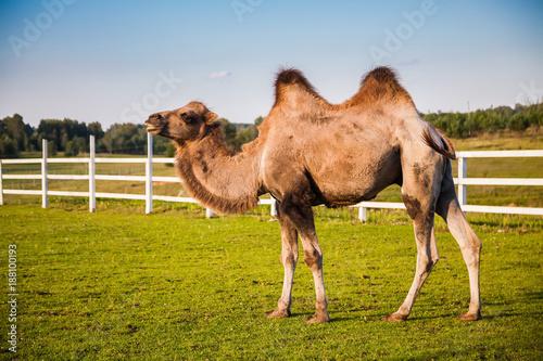 camel on a field