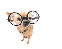 Cute Chihuahua With Giant Glasses On Isolated On A White Background Studio Shot Portrait