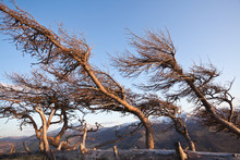 Windswept Trees In The Mountains