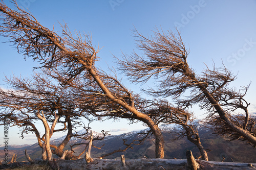 Windswept trees in the mountains Fototapeta