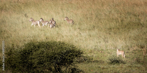 Poster Zebra A lioness hunting a group of zebras