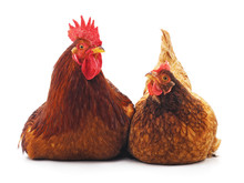Hen And Cock.