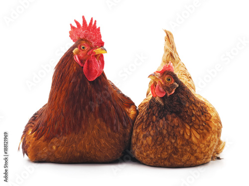 Photo Hen and cock.