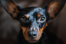 A Portrait Of A Dog Of A Miniature Pinscher, Looks Sadly Into The Camera.