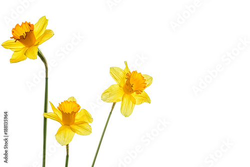 Three yellow narcissus flower on a white background