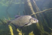Underwater Photography Of Carp...
