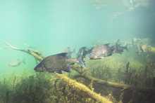 Underwater Photography Of Carp Bream (Abramis Brama). Beautiful Fish In Close Up Photo. Underwater Photography In The Wild Nature. River Habitat. Swimming Common Bream In The Clear Pond.