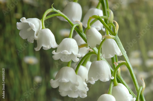 Closeup of Lily of the Valley