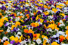 Multicolor Pansy Flowers Or Pansies As Background Or Card. Field Of Colorful Pansies With White Yellow And Violet Pansy Flowers. Mixed Pansies On Flowerbed In Perspective With Detail Of Pansy Flowers