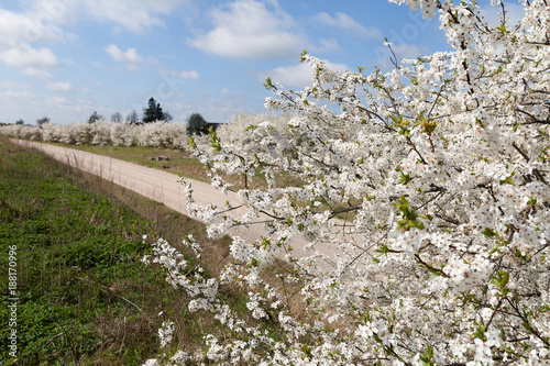Rural road and blossoming plums.