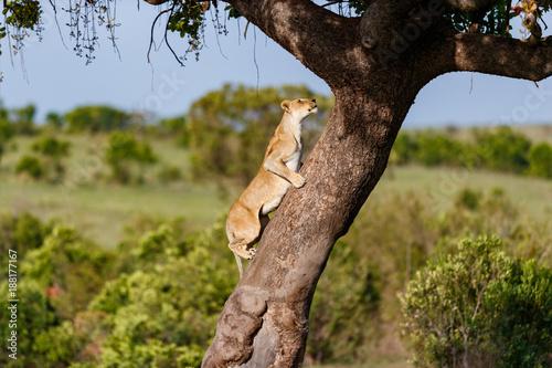 Pinturas sobre lienzo  Big Lioness climbing on a tree in Masai Mara, Kenya