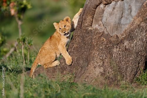 Pinturas sobre lienzo  Lion cub likes to climb on a big tree in Masai Mara, Kenya