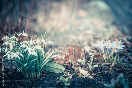 Staande foto Lente Spring landscape with snowdrops and crocuses flowers, outdoor springtime nature in garden or park