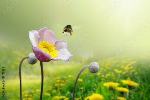 Poster Jaune Beautiful pink anemone flower on spring yellow meadow and flying bumblebee macro on soft blurry light green background. Concept hot summer in sunshine in nature, bright warm soulful artistic image.