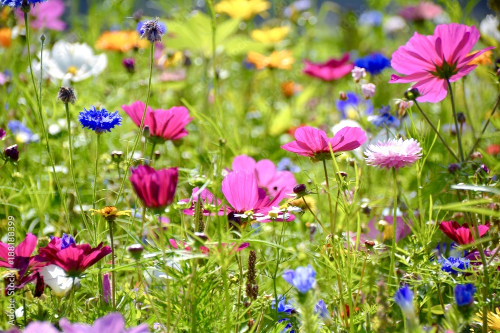 Fototapeta bunte Blumenwiese - Wildblumen