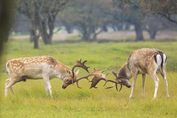 Naklejka na ściany i meble Fallow deer, Dama Dama, fighting during rutting season.