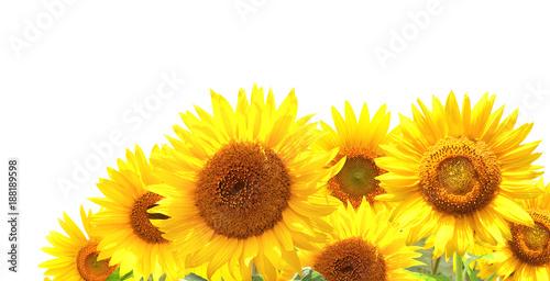 In de dag Zonnebloem Bright yellow sunflowers