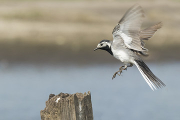 Closeup of a White Wagtail bird in flight