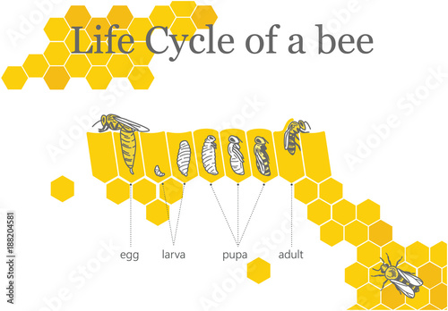 Fotografía  Life Cycle of a Bee