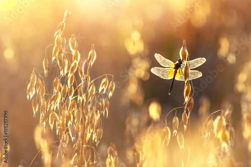 Colorful summer scene with dragonfly on oats at sunset
