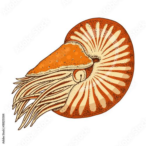 Fotografie, Obraz  sea creature nautilus pompilius
