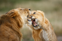 Lions Sparing