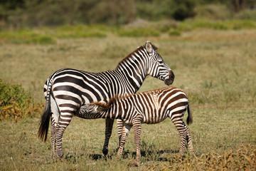 Fototapeta na wymiar Nursing Zebra