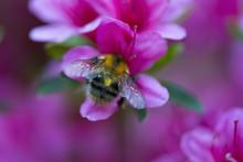Bumblebee In A Pink Azalea Blossom Or Rhododendron In Garden. Season Of Flowering Azaleas. Close Up.