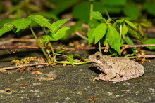 Northern Gray Tree Frog