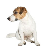 Cute Small Dog Jack Russell Te...