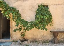 Beautiful Grape Vine On The Ol...