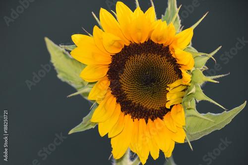 In de dag Zonnebloem Macro Flash Sunflower
