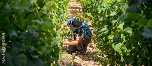 Fotomural viticulteur dans ses vignes