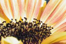 Sunflower Florets Grow