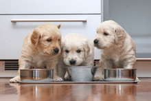 Puppies Eating Food In The Kit...