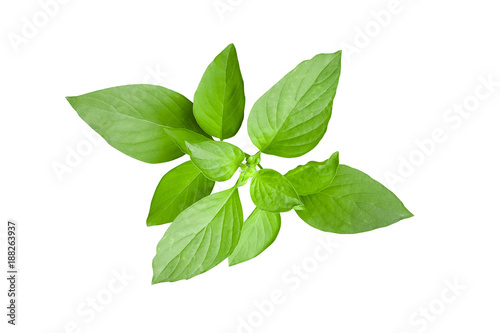 Aluminium Prints Condiments Fresh green leaves of Thai lemon basil or hoary basil tropical herb plant isolated on white background, clipping path included.
