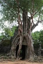 Visit Angkor, Intertwined Trunk, Cambodia