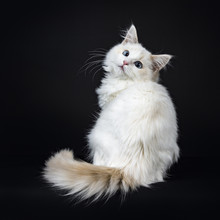 Blue Eyed Ragdoll Cat / Kitten Sitting Backwards Isolated On Black Background Looking At The Lens