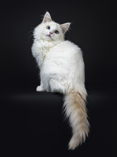 Blue Eyed Ragdoll Cat / Kitten Sitting Sideways Isolated On Black Background Looking Up And With Tail Hanging From Edge