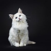 Blue Eyed Ragdoll Cat / Kitten Sitting Isolated On Black Background Looking Very Sweet