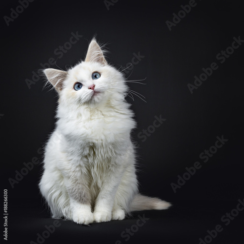 Valokuva Blue eyed ragdoll cat / kitten sitting isolated on black background looking very